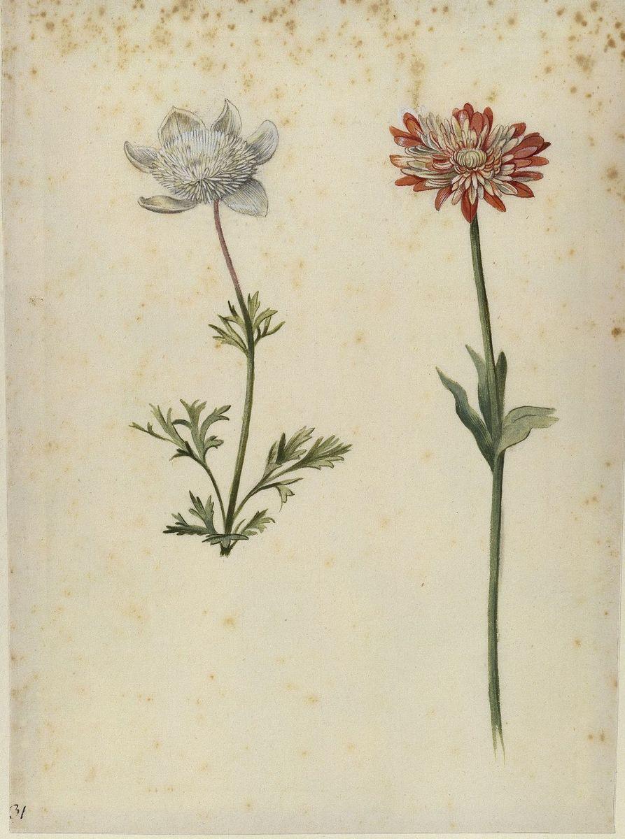 Georg Flegel: Kronen- und Strahlen-Anemone, um 1630  (c) bpk / Kupferstichkabinett, SMB / Jörg P. Anders