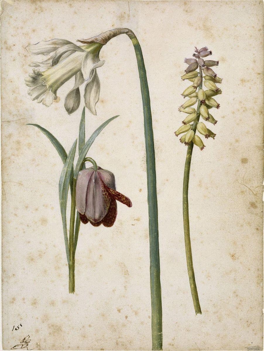 Georg Flegel: Alpen-Schachblume, Trompeten-Narzisse, Träubelhyazinthe, um 1630  (c) bpk / Kupferstichkabinett, SMB / Jörg P. Anders