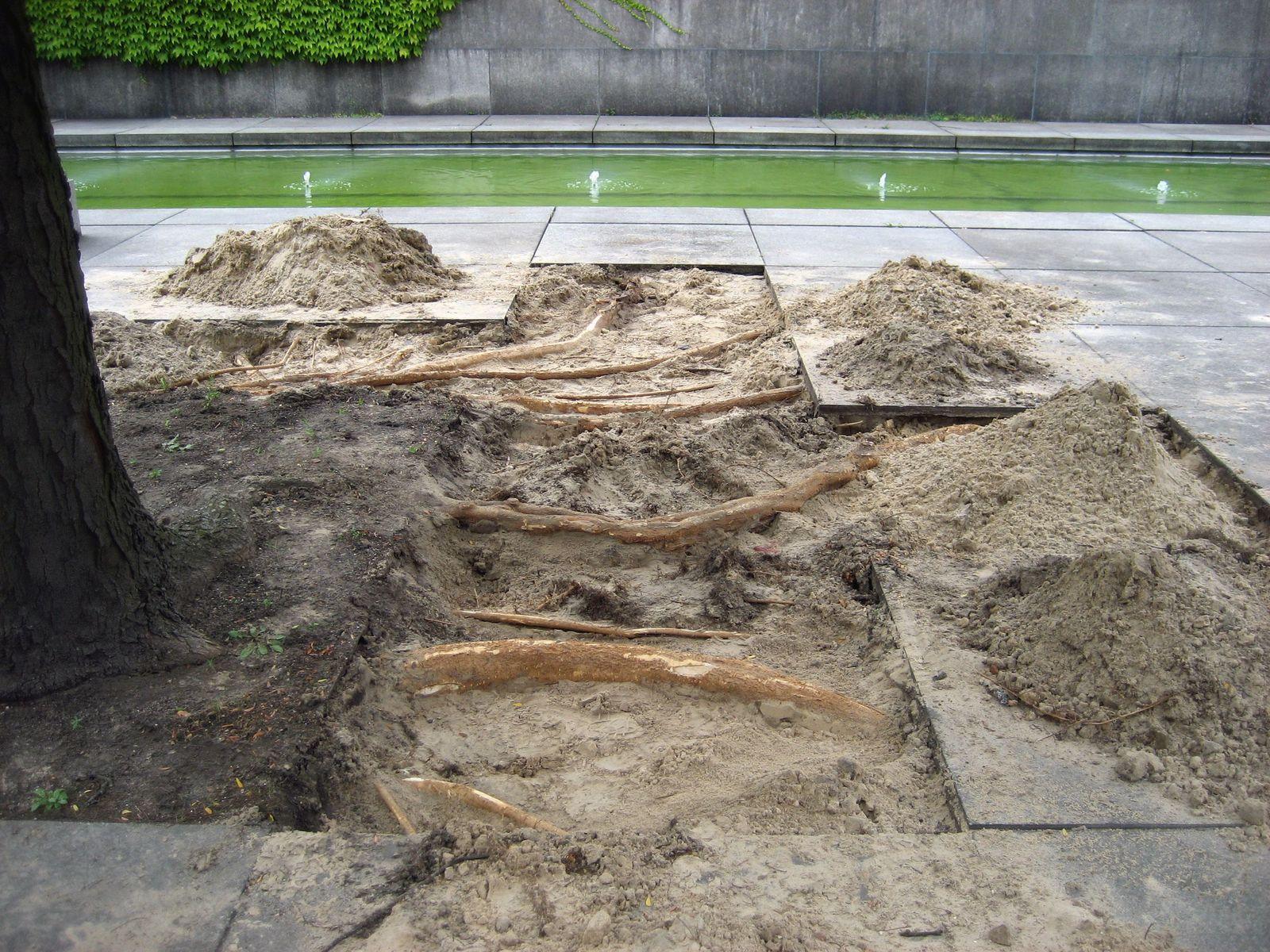 Freigelegte Gleditschien-Wurzeln unter den Platten im Skulpturengarten, Foto: Jürgen Liehr