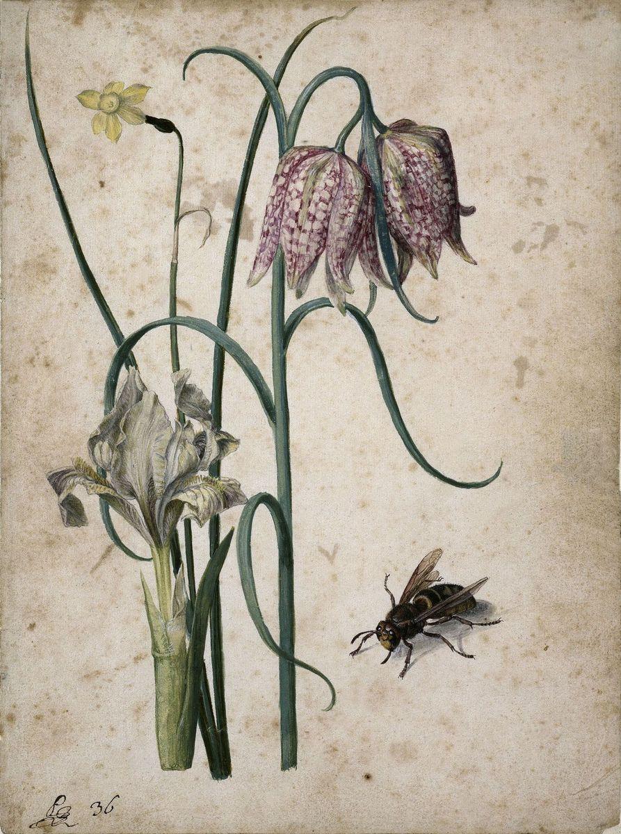 Georg Flegel: Jonquilla-Narzisse, Gelbliche Schwertlilie, Schachblume und Hornisse, um 1630  (c) bpk / Kupferstichkabinett, SMB / Jörg P. Anders