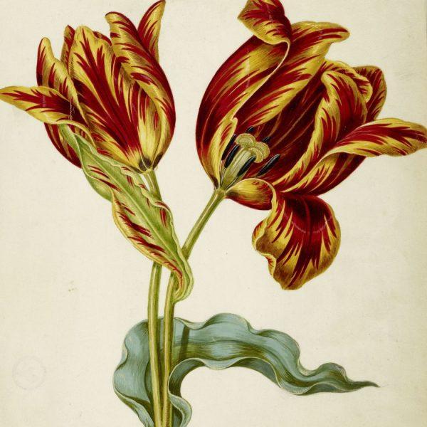 Johann Bartholomaeus Braun: Tulpe (c) bpk / Kupferstichkabinett, SMB / Volker-H. Schneider