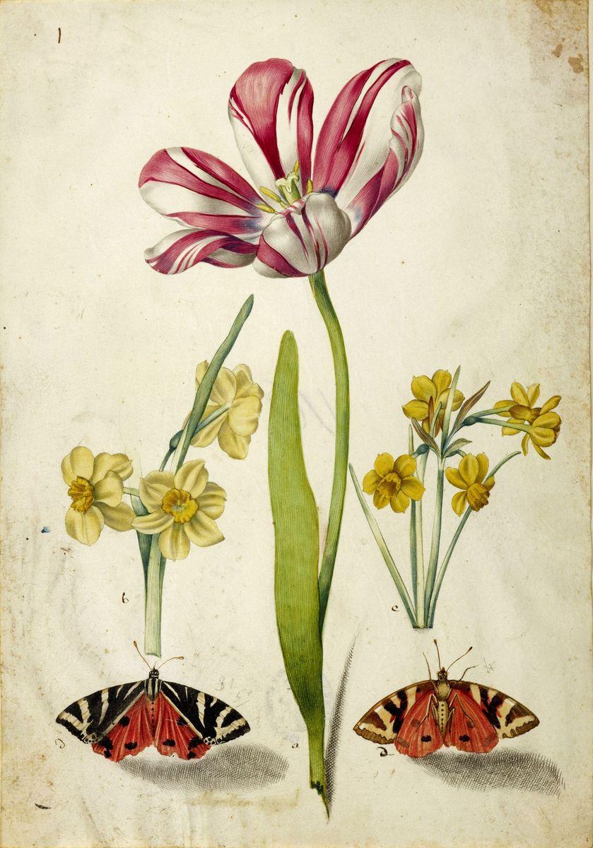 Johann Bartholomaeus Braun: Tulpe, Narzissen und Schmetterlinge (c) bpk / Kupferstichkabinett, SMB / Volker-H. Schneider