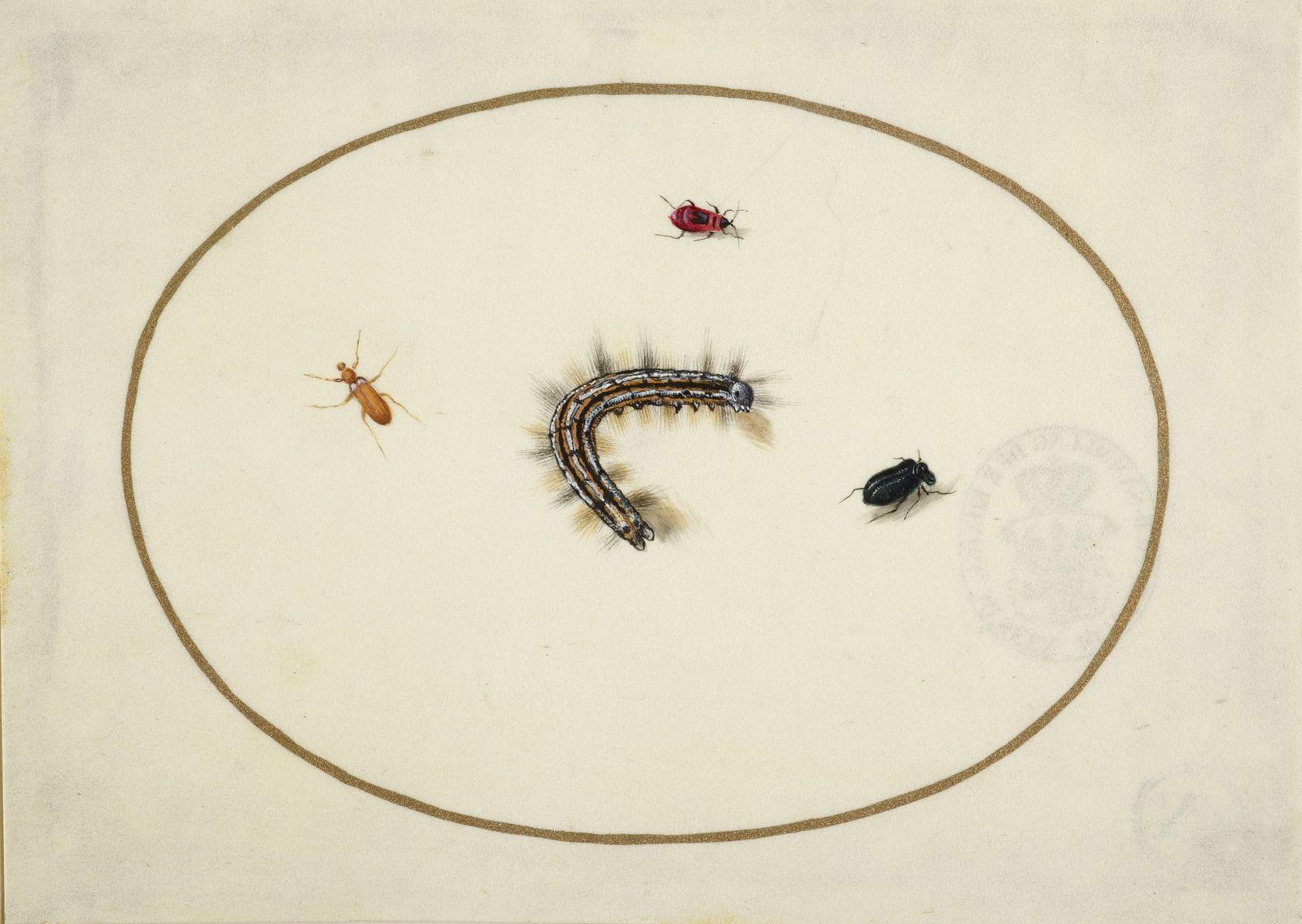 Maria Sibylla Merian: Raupen und Insekten, im Queroval, mit einer goldenen Linie eingefaßt, miniaturartig fein ausgeführt (c) bpk / Kupferstichkabinett, SMB / Volker-H. Schneider