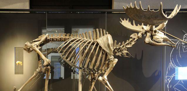So wird der Elch vom Hansaplatz heute im Neuen Museum präsentiert. (c) Staatliche Museen zu Berlin, Museum für Vor- und Frühgeschichte