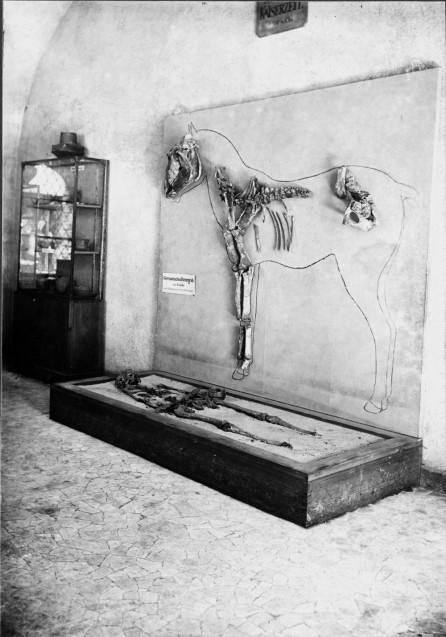 Präsentation des Neuköllner Reitergrabes im Märkischen Museum Berlin (nach 1923).  © Landesdenkmalamt Berlin, Archiv Bodendenkmalpflege.